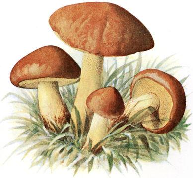 Image of <i>Suillus granulatus</i> (L.) Roussel 1796