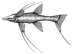 Image of <i>Bathypterois grallator</i> (Goode & Bean 1886)
