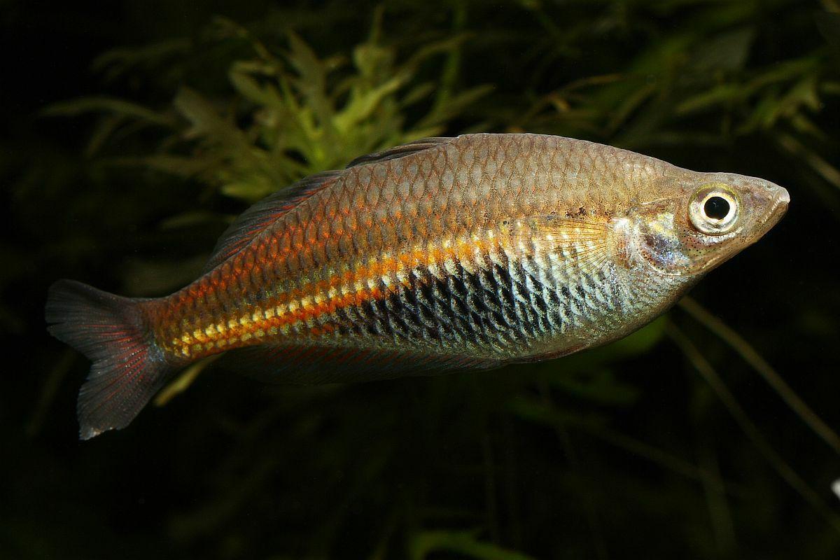 Image of Ramu Rainbowfish