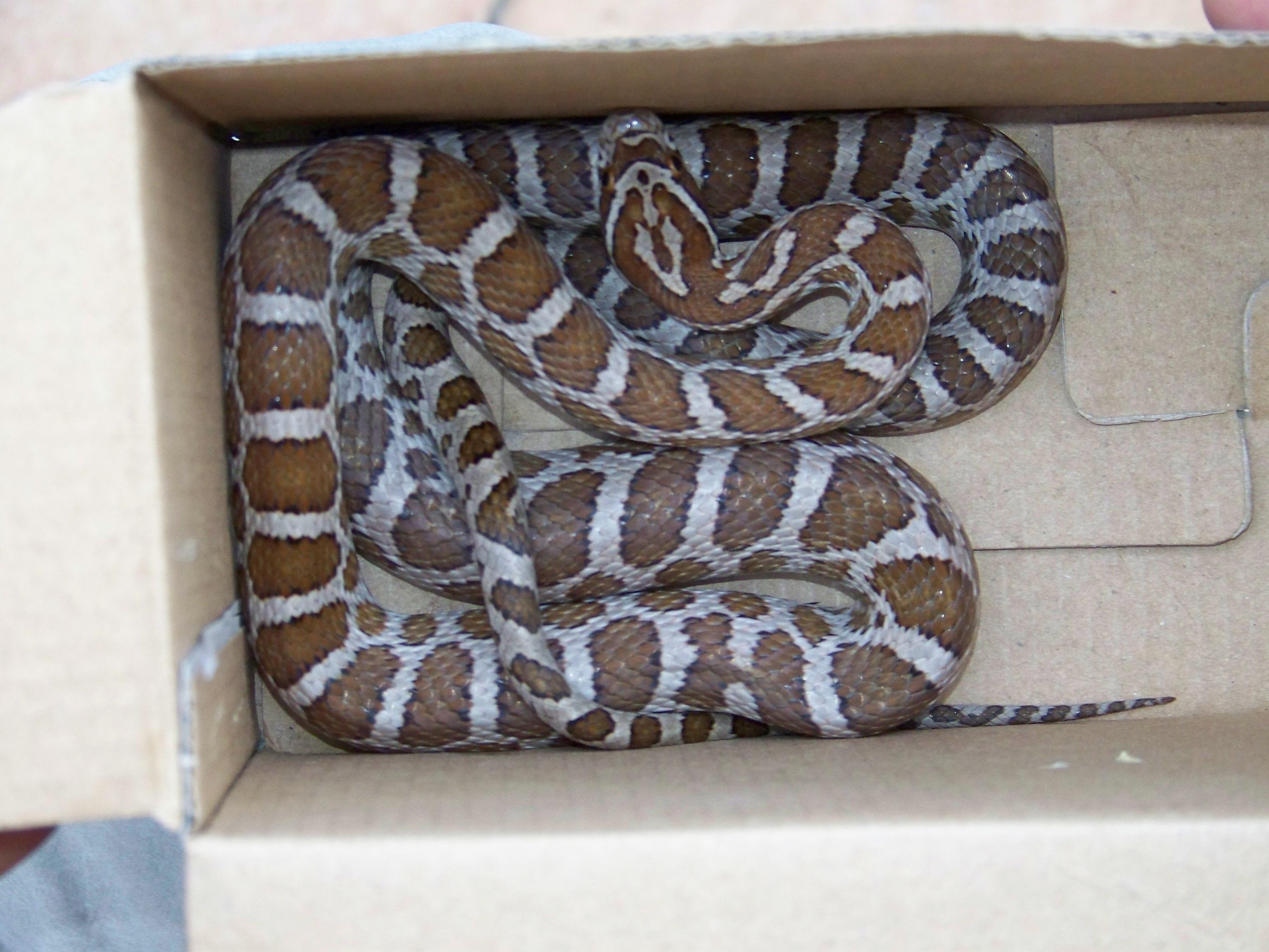 Image of Great Plains Rat Snake