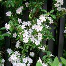Image of snowrose
