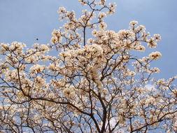 Image of <i>Tabebuia roseo-alba</i>