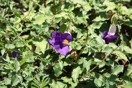Image of bush clockvine