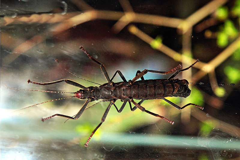 Image of Golden-eyed stick insect