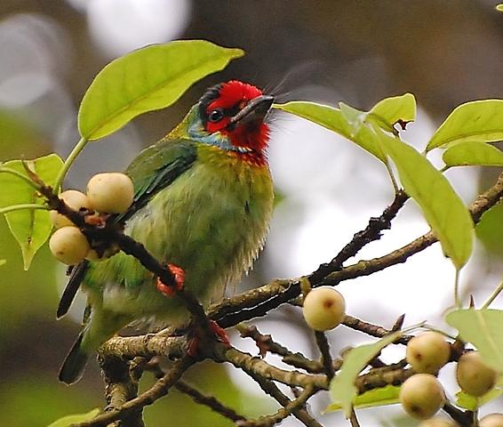 Image of <i>Megalaima malabarica</i>