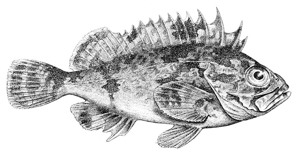 Image of Devilfish