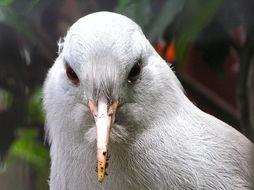 Image of Kagu