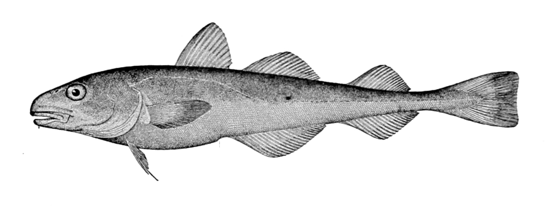 Image of Navaga