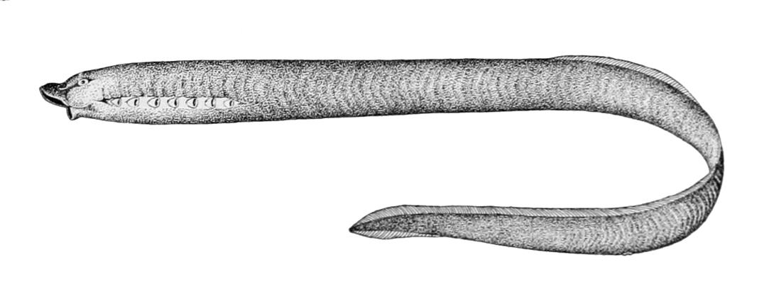 Image of <i>Lampetra tridentata</i>
