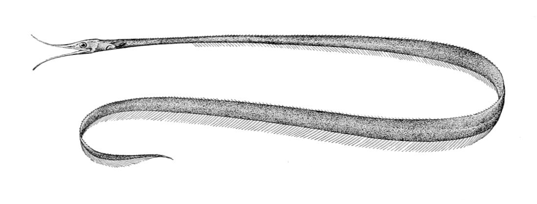 Image of Avocet Snipe Eel
