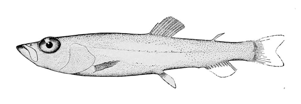 Image of <i>Bathylagus stilbius</i>