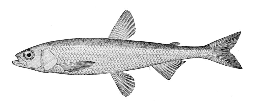 Image of Pond Smelt