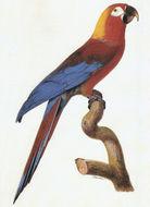Image of Cuban Macaw