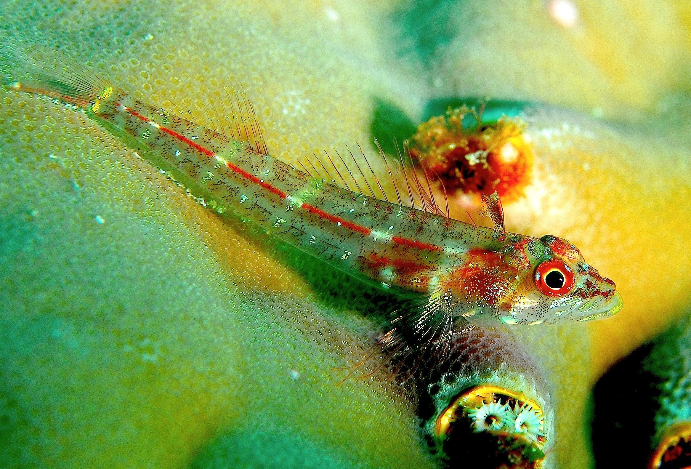 Image of Red-finned Triplefin
