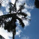 Image of Kentia Palm