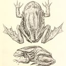 Image of Titicaca Water Frog