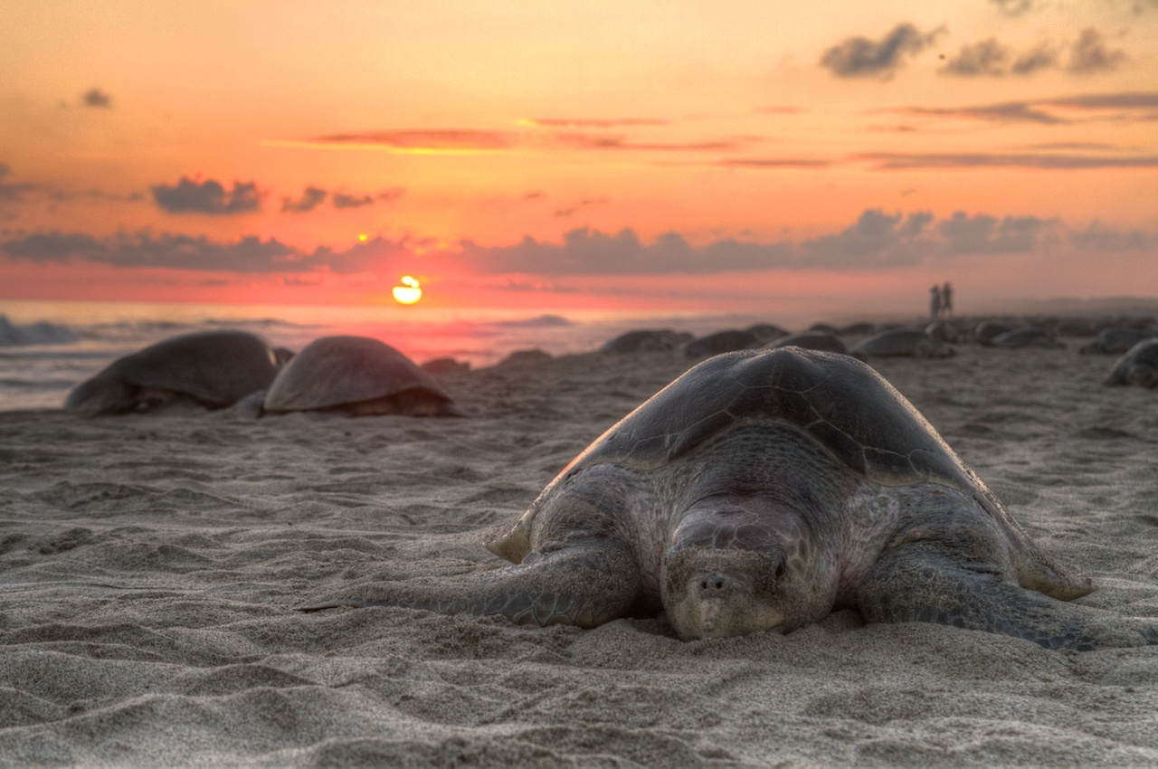 Image of Olive Ridley