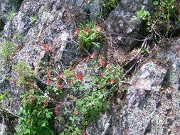 Image of red columbine