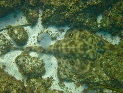 Image of Southern Banded Guitarfish