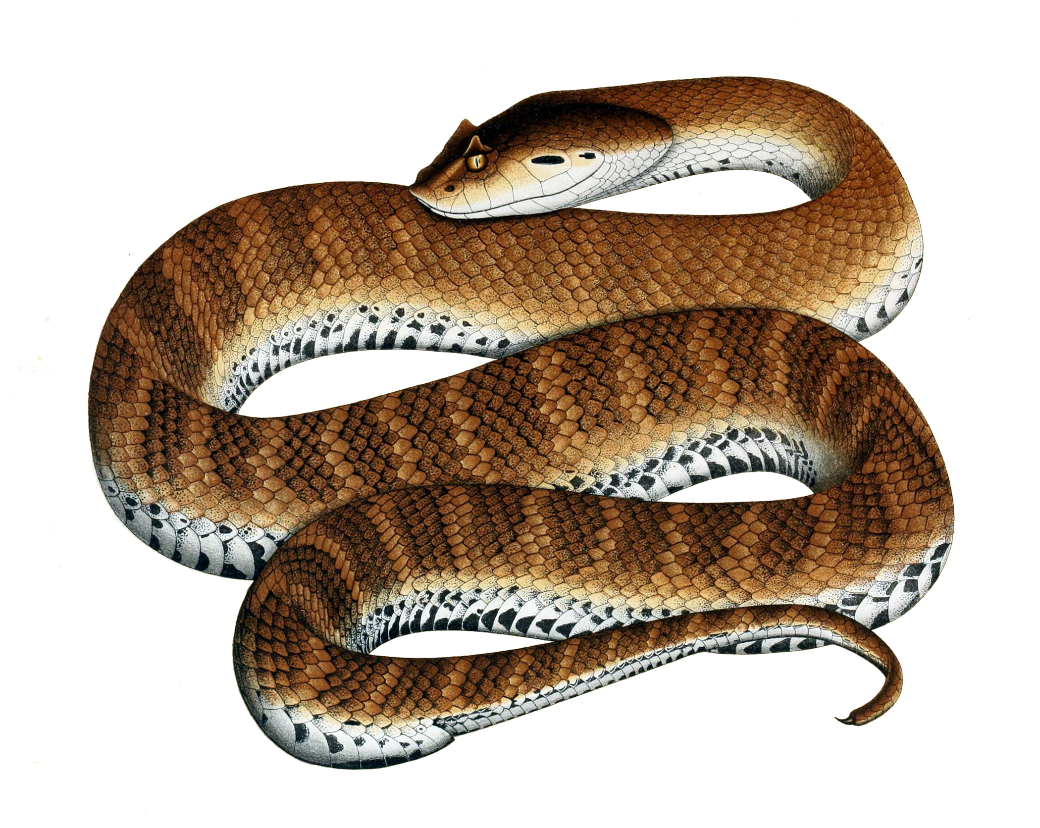 Image of Common Death Adder