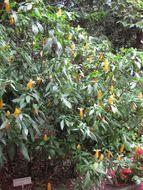 Image of lollipop-plant