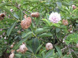 Image of Pom-pom tree