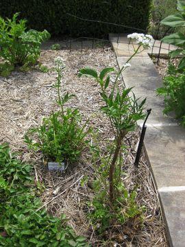 Image of anise burnet saxifrage