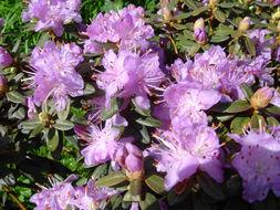 Image of <i>Rhododendron impeditum</i> I. B. Balf. & W. W. Smith