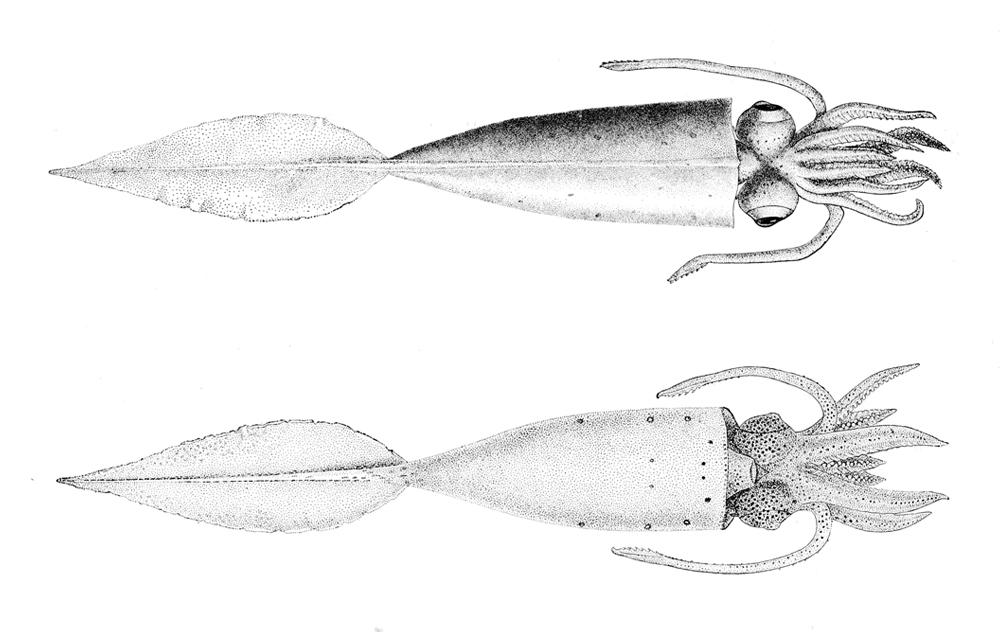 Image of cockatoo squid
