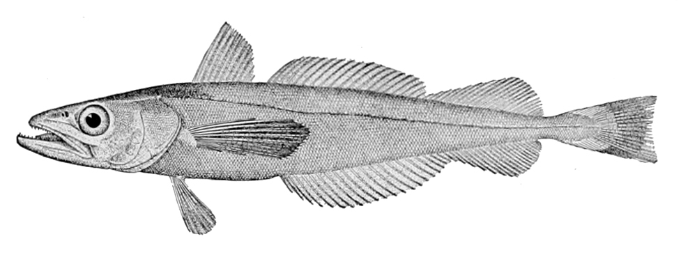 Image of North Pacific Hake