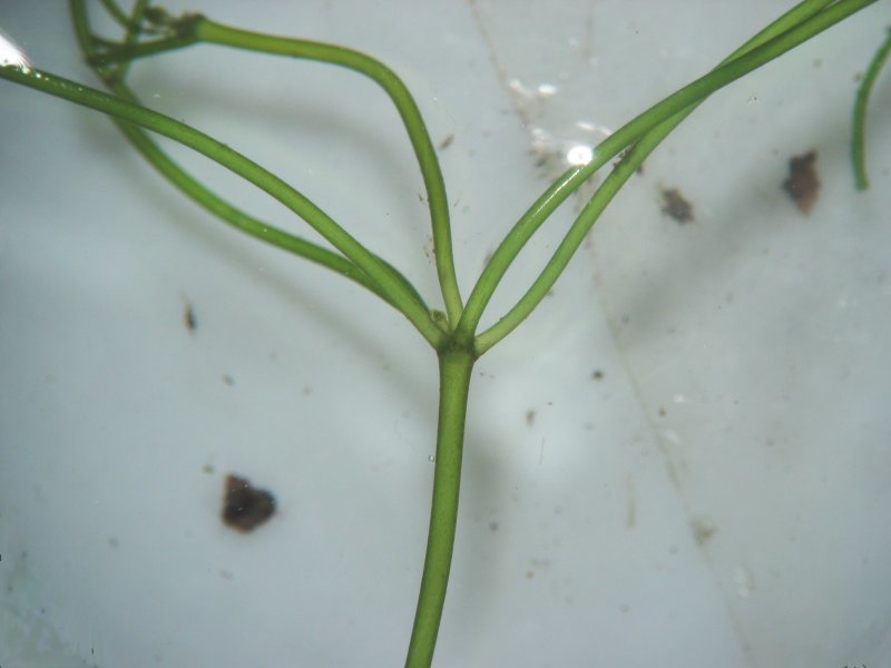Image of Starry stonewort