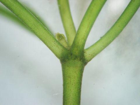 Image of Starry stonewort