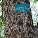 صورة <i>Pterocarpus marsupium</i> Roxb.