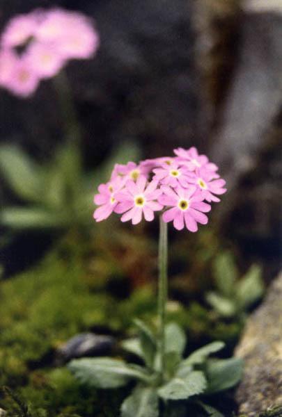 Image of Bird's-eye Primrose