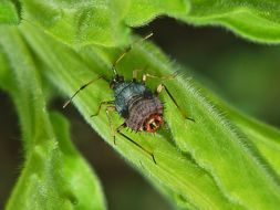 Image of red capsid bug