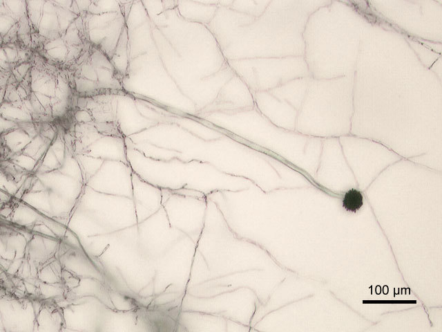 Image of <i>Aspergillus niger</i> Tiegh. 1867