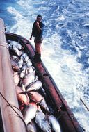 Image of Bigeye Tuna
