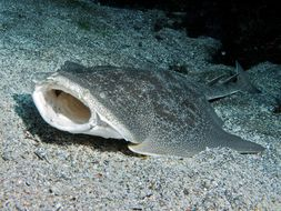 Image of Japanese Angelshark