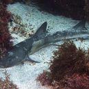 Image of Japanese Topeshark