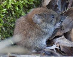 Image of Eurasian Harvest Mouse