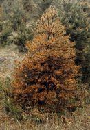 Image of <i>Lophodermium seditiosum</i> Minter, Staley & Millar 1978