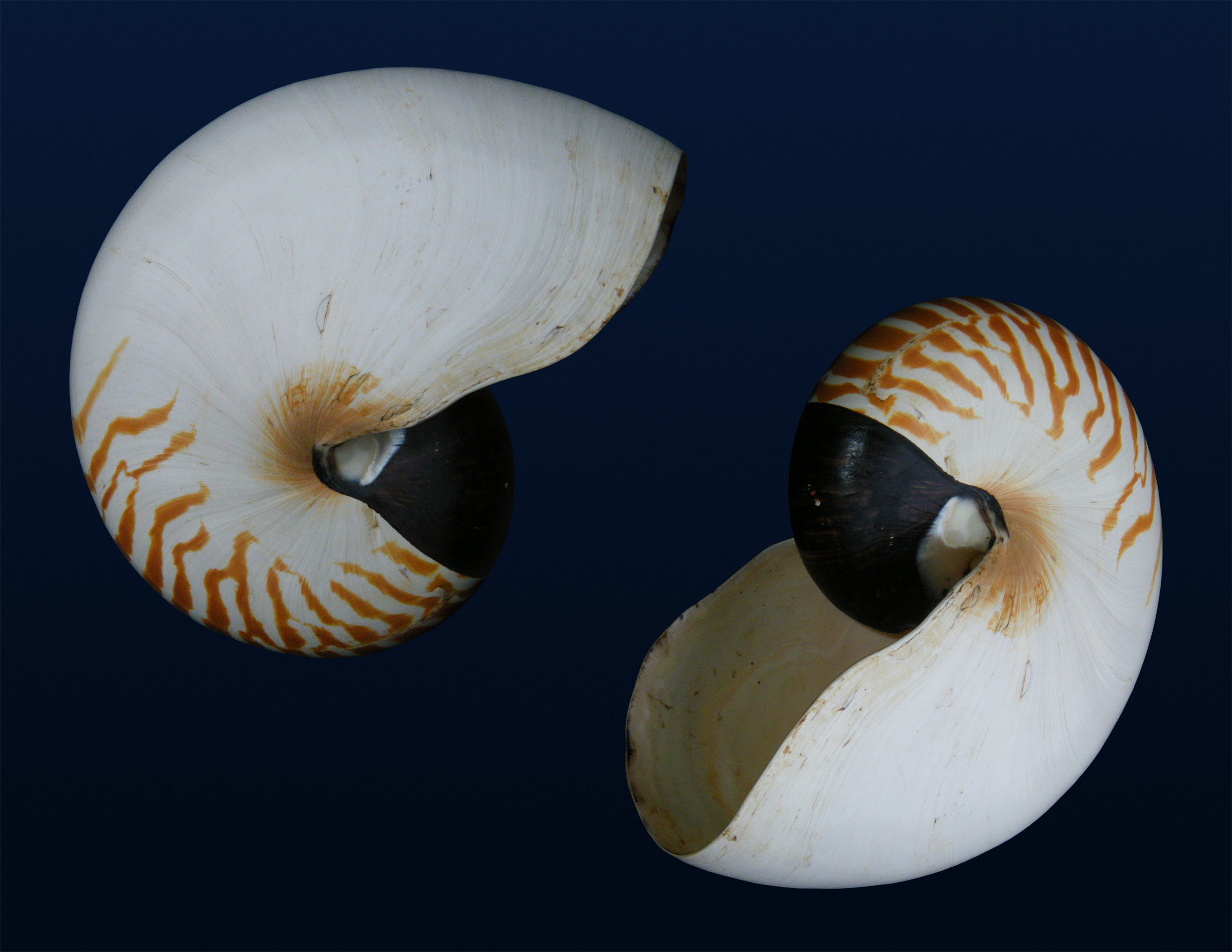 Image of chambered nautilus