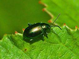 Image of <i>Altica oleracea</i>