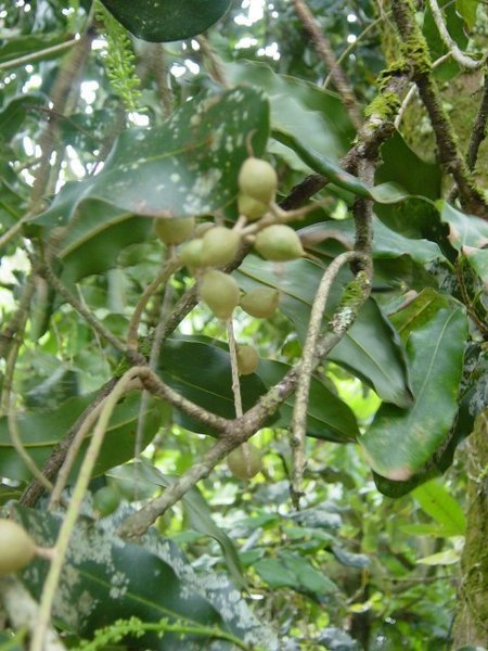 Image of macadamia nut