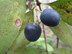 Image of Notelaea longifolia