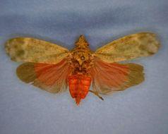 Image of <i>Enchophora sanguinea</i> Distant 1887