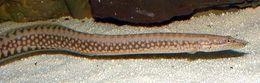 Image of <i>Mastacembelus moorii</i> Boulenger 1898