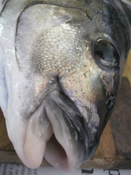 Image of Blue moki