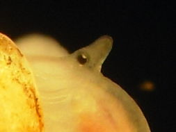 Image of <i>Truncatella subcylindrica</i> (Linnaeus 1767)