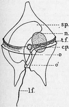 Image of Peridinium